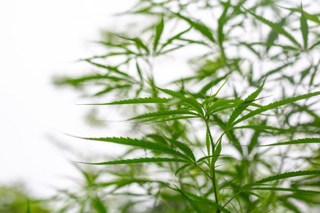 Cannabis : les pays qui en produisent le plus